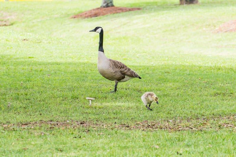 Гусыня или глупец и Gosling стоковое фото rf