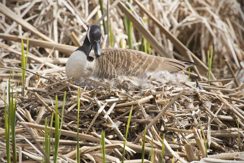 Гусыня Канады сидя на гнезде в болоте в весеннем времени стоковая фотография rf