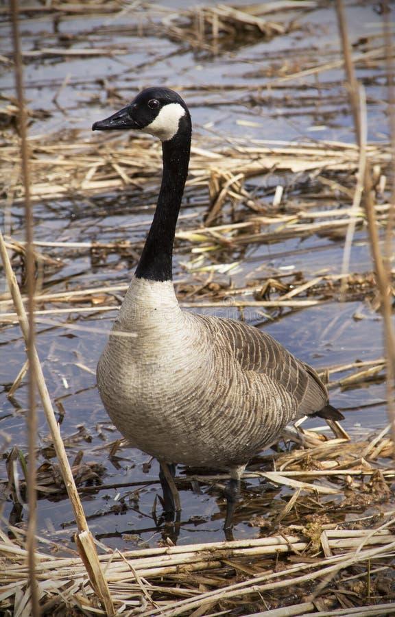 Гусыня Канады стоя в болоте в Новой Англии стоковая фотография rf