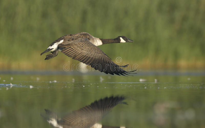 Download Гусыня Канады, Canadensis чёрной казарки Стоковое Изображение - изображение насчитывающей полет, вода: 33738255