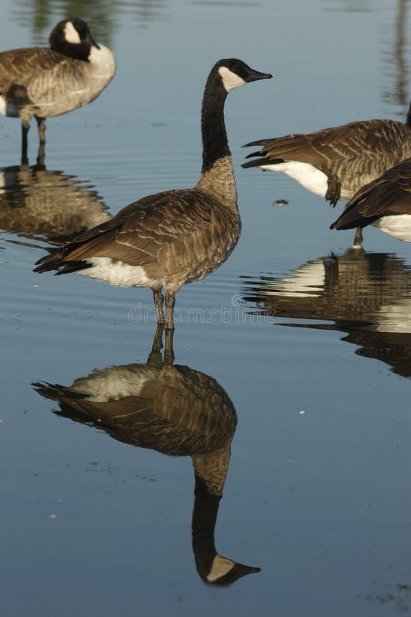 Download Гусыня Канады, Canadensis чёрной казарки Стоковое Фото - изображение насчитывающей природа, биографической: 33738278