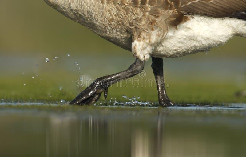 Download Гусыня Канады, Canadensis чёрной казарки Стоковое Изображение - изображение насчитывающей урбанско, природа: 33738281