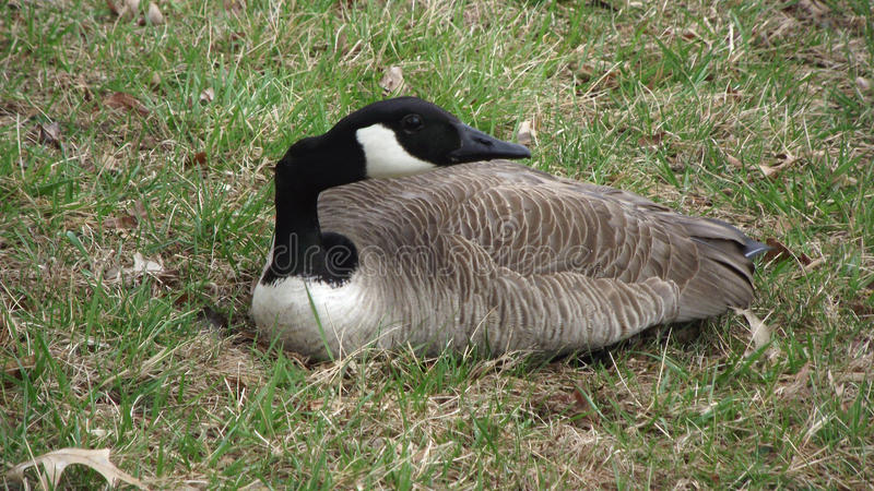 Гусыня отдыхая на траве стоковая фотография