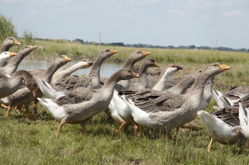Гусыня птиц стоковые фото