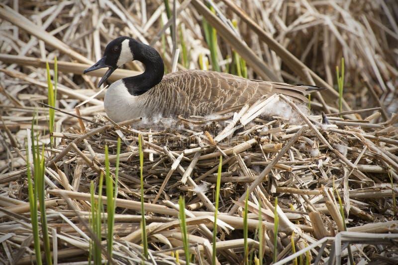 Гусыня сидя на гнезде, счет открытый, согласие Канады, Массачусетс стоковое фото