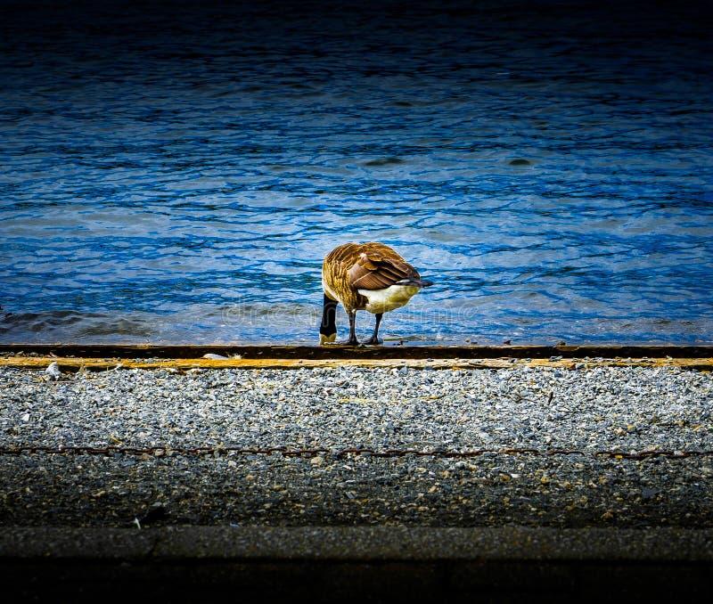 Гусыня с головой в открытом море подавая на озере Windermere с банком гравия каменистым стоковая фотография rf