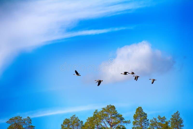гусыня фасоли Лес-размножения - стадо над лесом стоковое фото