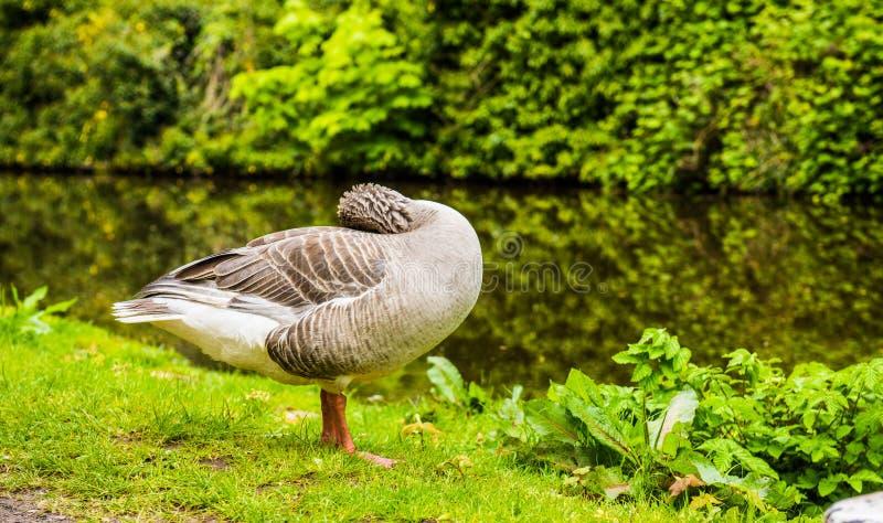 Гусыня Greylag Великобритания стоковые фото