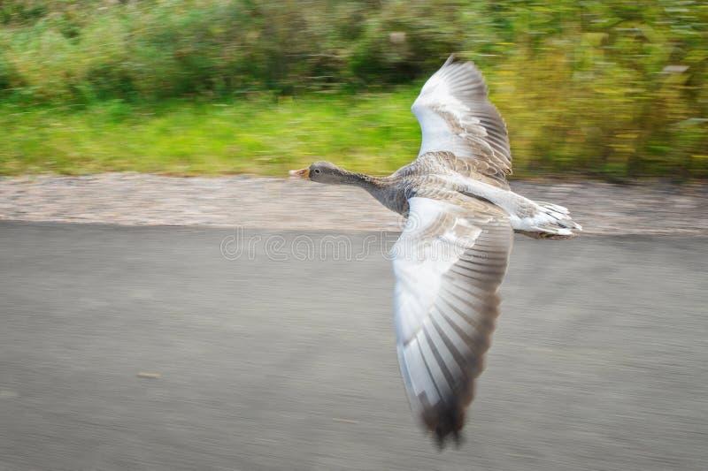 Гусыня Greylag в быстрой технической скорости на дороге около coloful поля стоковое изображение rf