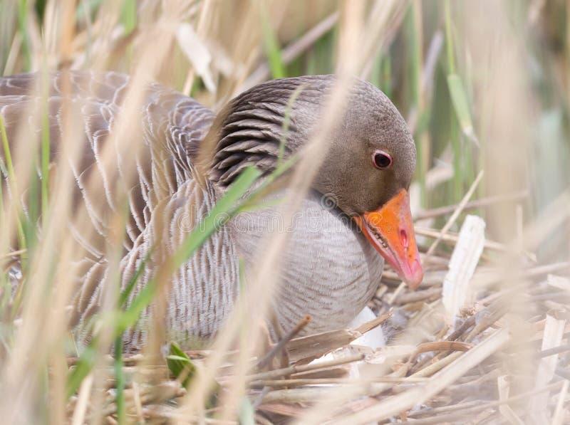 Гусыня Greylag сидя на гнезде стоковые изображения rf