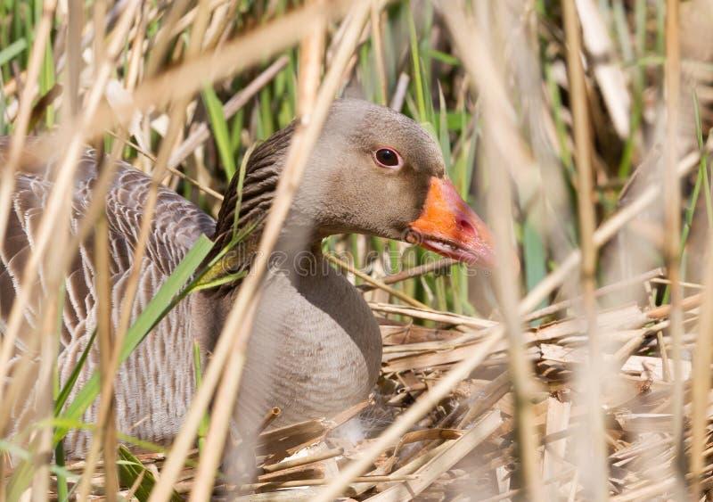 Гусыня Greylag сидя на гнезде стоковое фото rf