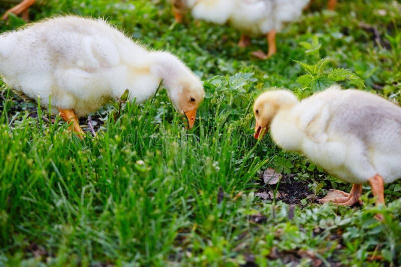 Гусята клюя на траве на ферме стоковое фото