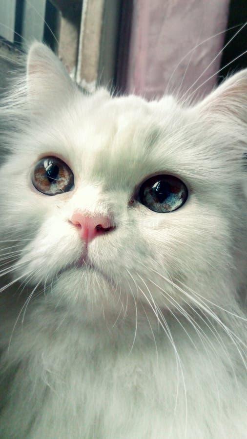 Глаза белого кота нечетные персидские стоковое фото rf