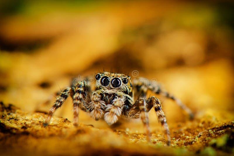 Глаза скача паука стоковая фотография