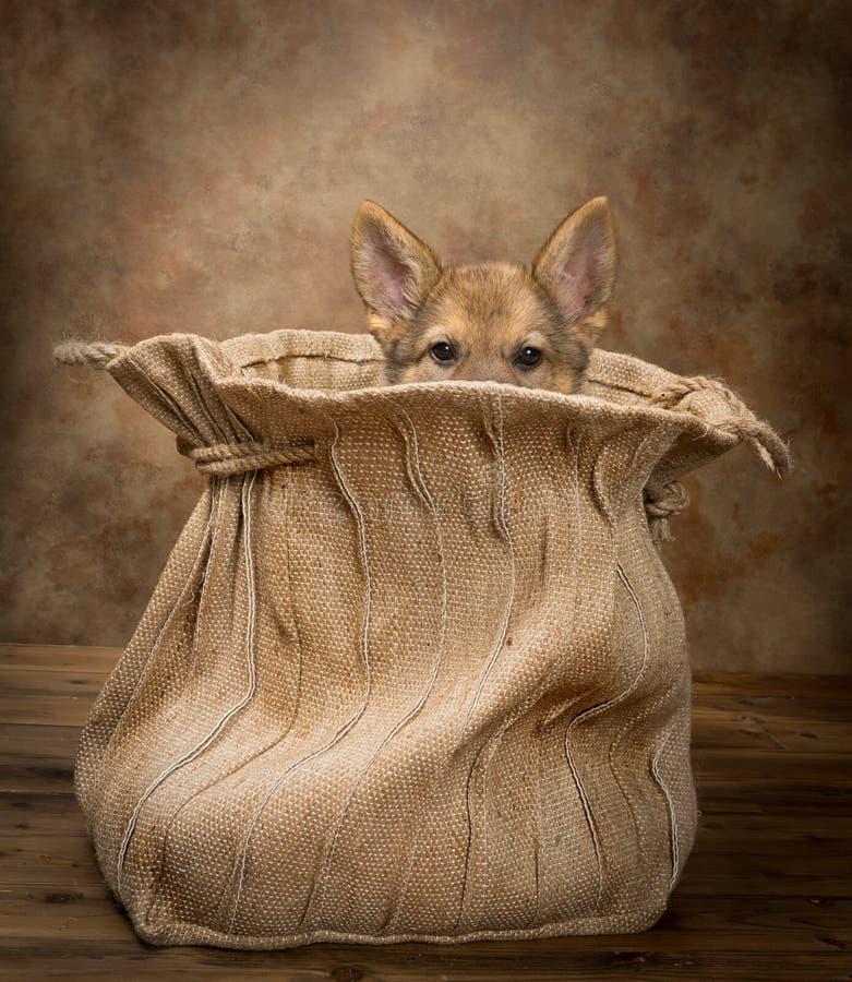 Глаза щенка чабана germand стоковое изображение rf