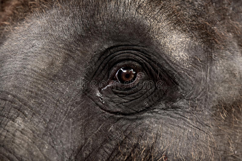 Глаз азиатского слона стоковые изображения rf