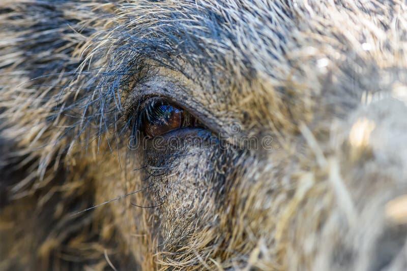 Глаз в глазе с диким кабаном стоковое фото rf