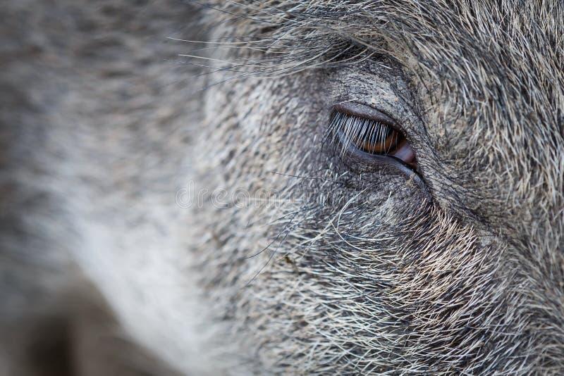Глаз дикого кабана стоковые фотографии rf