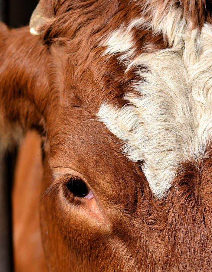 Глаз коровы стоковое фото rf