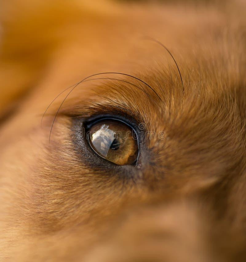 Глаз собаки макроса стоковые изображения rf
