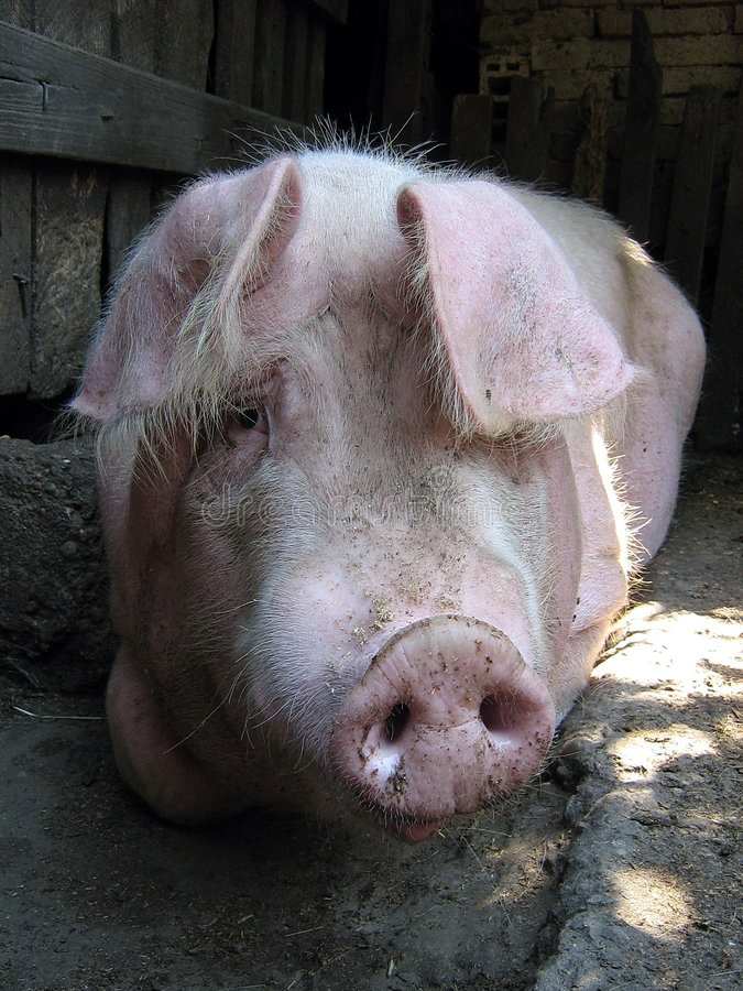 г-н piggy стоковая фотография