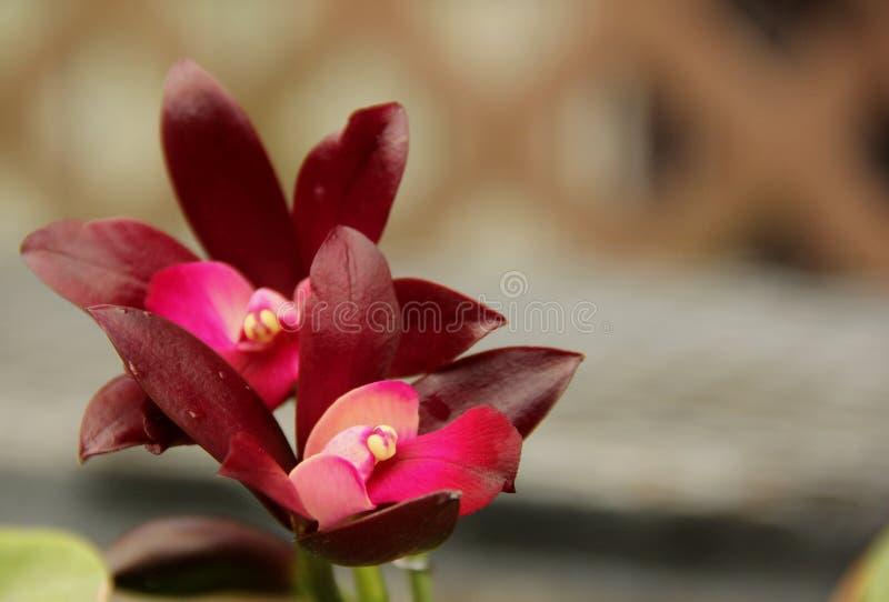 Глубоко - фиолетовые орхидеи Cattleya стоковая фотография rf