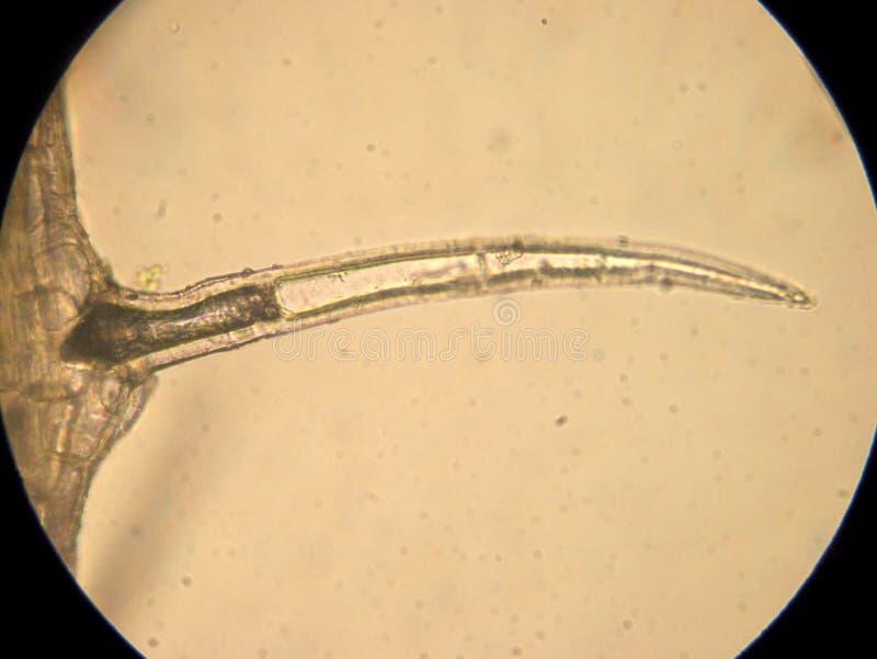 Даже одноклеточный - оптически микроскопия стоковые фотографии rf