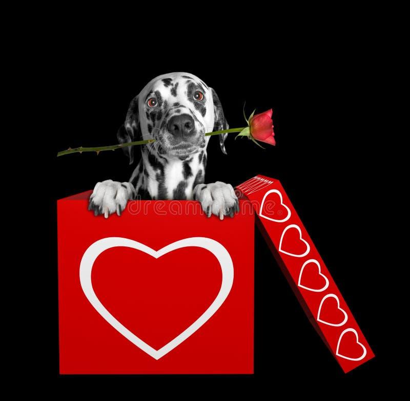 Далматинская собака с подняла сидящ в коробке валентинок Изолировано на черноте стоковое фото rf
