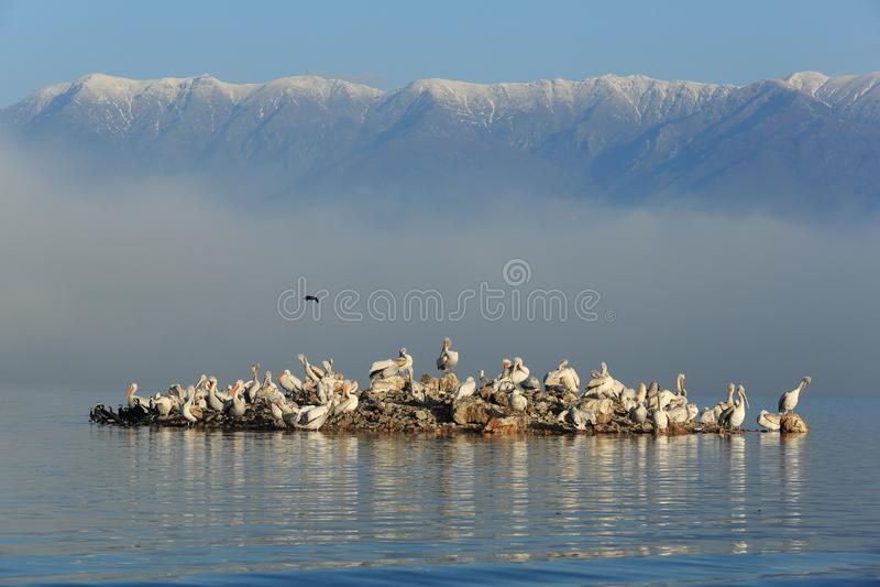 Далматинские пеликаны на острове стоковое фото