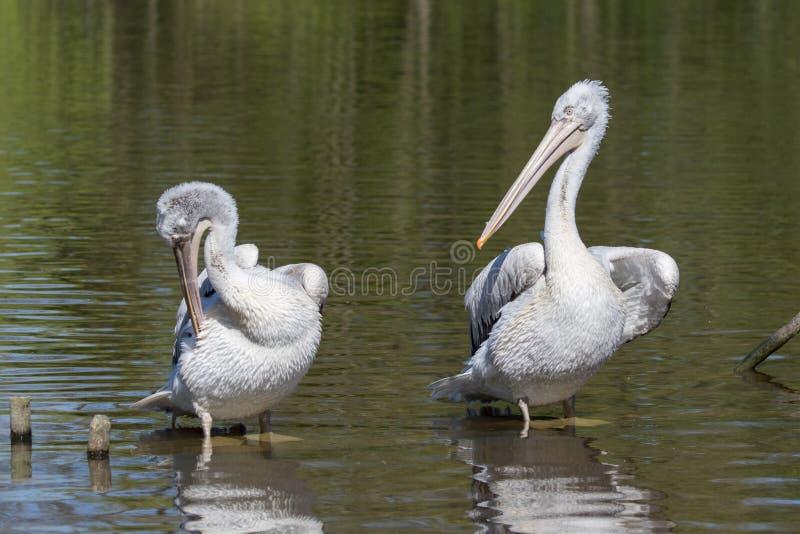 2 далматинских пеликана - crispus Pelecanus - холить стоковые изображения rf