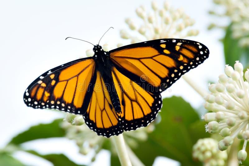 Данай Plexippus бабочки мужского монарха с путем клиппирования стоковое фото rf