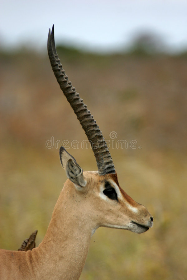 дар gazelle стоковое фото rf