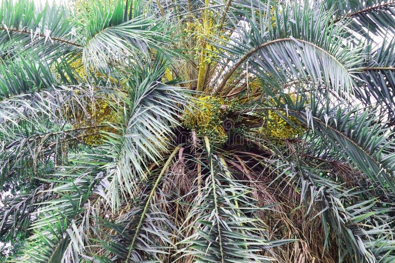 Дата на зеленом цвете пальмы красивом Длинное дерево финиковой пальмы хобота Даты на пальме Ветви ладони дат со зрелыми датами Пу стоковые фотографии rf