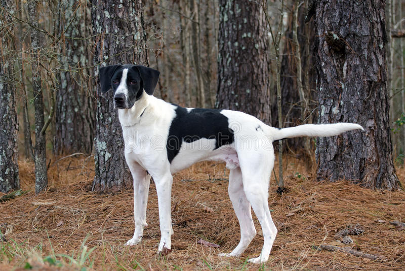 Датчанин указателя большой смешал фото принятия собаки породы стоковые изображения
