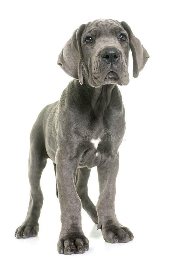 Датчанин щенка большой стоковое изображение