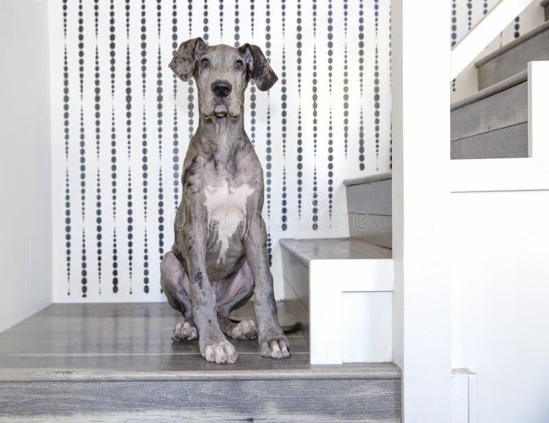 Датчанин Merle большой сидя на лестницах стоковые фото