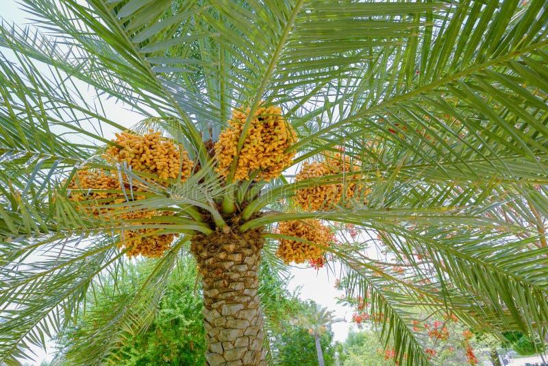 Даты зрея на дереве финиковой пальмы стоковые изображения rf