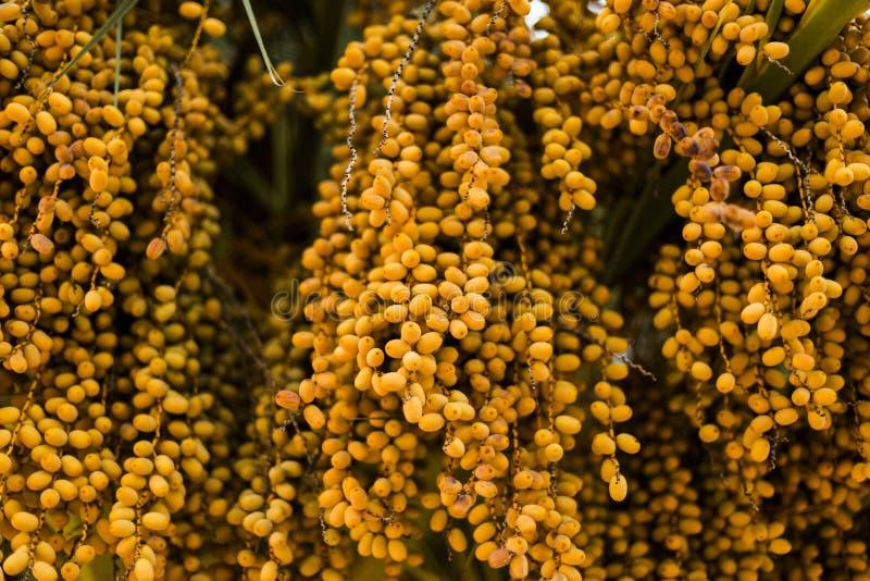 Даты пальмы янтарного цвета конец вверх natu текстурированное конспектом стоковое изображение rf