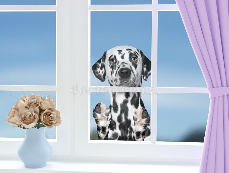 Далматинская собака смотря через окно стоковое изображение