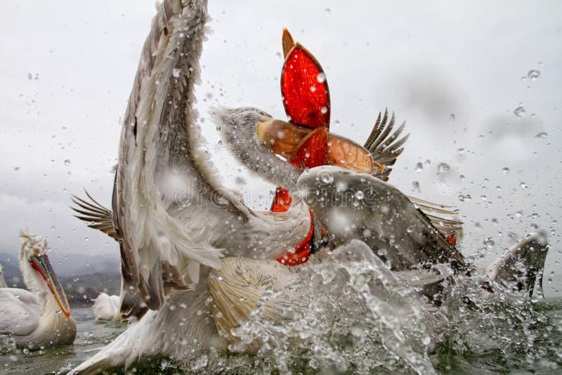 Далматинские пеликаны, озеро Kerkini, Греция стоковое фото rf