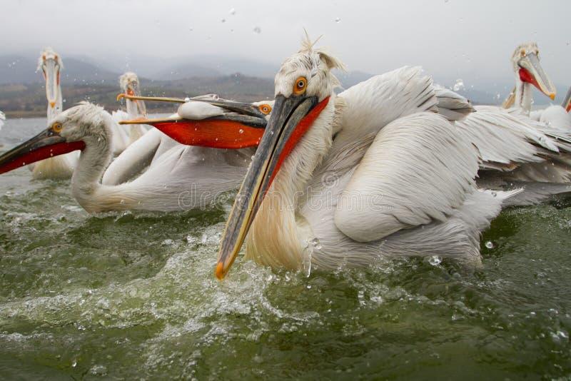 Далматинские пеликаны, озеро Kerkini, Греция стоковые фотографии rf