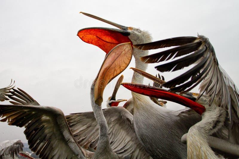 Далматинские пеликаны, озеро Kerkini, Греция стоковые изображения