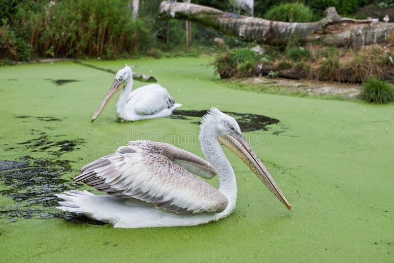 Два пеликанца стоковая фотография