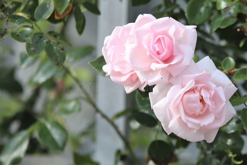 Две розовые розы в саду стоковые изображения rf