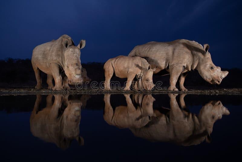 Две семьи белых носорогов, стоявших у водяной дыры в синий час стоковые изображения rf