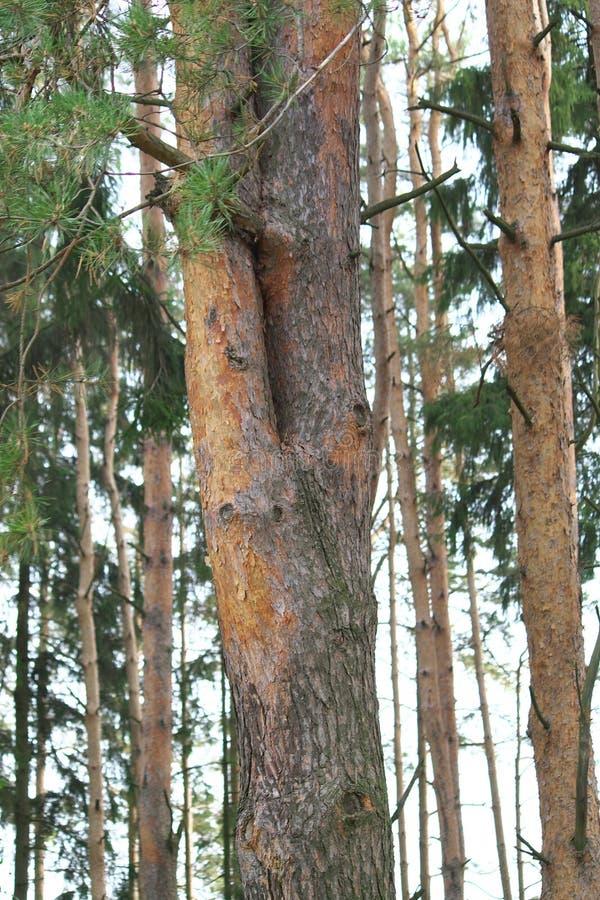 Двойная, красивая сосна в плотном сосновом лесе стоковое фото