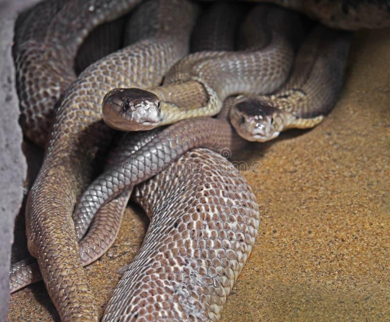 Двойная Monocled кобра на предпосылке песка стоковое фото rf