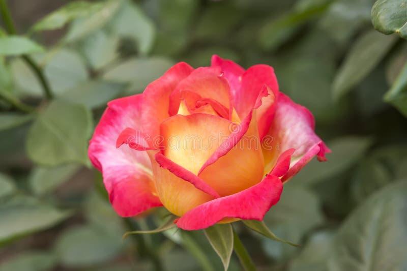 Двойной цветок наслаждения стоковые фотографии rf