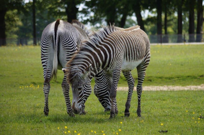 Двойные зебры потехи стоковые фотографии rf