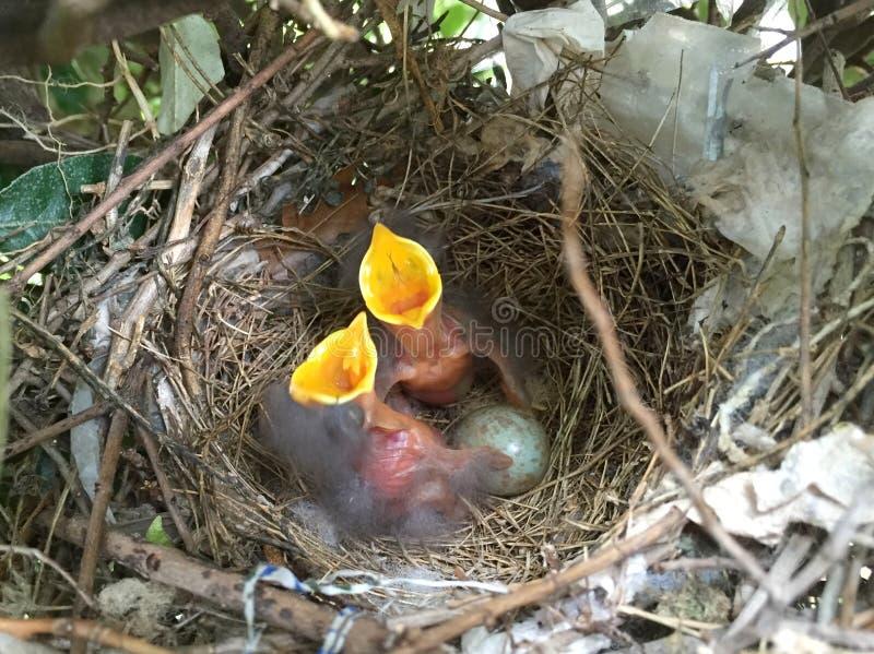 Двойные младенцы и яичко птицы на гнезде стоковое фото rf